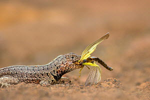 Lava lizard (Microlophus) feeding on locust prey, Galapagos Islands, May.  -  Ben  Hall