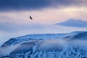 White-tailed eagle (Haliaeetus albicilla) in flight over mountain landscape at dusk, Iceland, January.  -  Ben  Hall