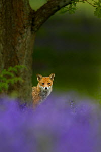 Red fox (Vulpes vulpes) peering from behind tree with bluebells in foreground, Cheshire, June.  -  Ben  Hall