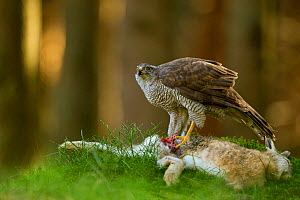 Goshawk (Accipiter gentilis) feeding on hare in forest, Czech Republic, March. Captive. - Ben  Hall
