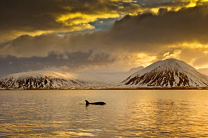 Orca (Orcinus orca) swimming in sea surrounded by mountains at sunset, Iceland, January. - Ben  Hall