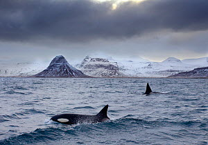 Orcas (Orcinus orca) pair in sea surrounded by mountains, Iceland, January. - Ben  Hall