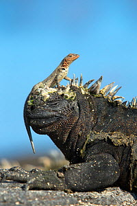 Marine Iguana (Amblyrhynchus cristatus) on rock with lava lizard sitting on its head, Galapagos Islands, May.  -  Ben  Hall