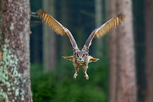 Eagle owl (Bubo bubo) in flight through forest, Czech Republic, November. Captive.  -  Ben  Hall