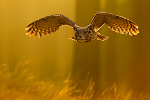 Eagle owl (Bubo bubo) in flight through forest, backlit at dawn, Czech Republic, November. Captive.  -  Ben  Hall