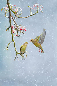 Greenfinch (Carduelis chloris) pair, one perched on branch and one hovering in snowfall, Derbyshire, February. - Ben  Hall
