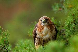 Red-tailed hawk (Buteo jamaicensis) perched in tree, Czech Republic, November. Captive.  -  Ben  Hall