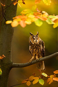 Long-eared owl (Asio otus) perched in tree amongst autumn leaves, Czech Republic, October. Captive  -  Ben  Hall