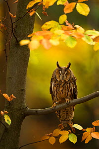 Long-eared owl (Asio otus) perched in tree amongst autumn leaves, Czech Republic, October, Captive  -  Ben  Hall