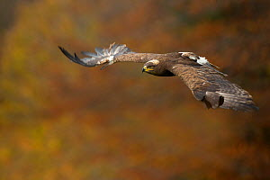 Steppe eagle (Aquila nipalensis) in flight against autumn colours, Czech Republic, November. Captive. - Ben  Hall