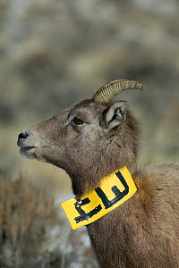 Rocky mountain bighorn sheep Rocky mountain bighorn (Ovis canadensis canadensis) ewe with tracking collar for identification.  Whiskey Mountain near Dubois, Wyoming, USA, November.  -  Jeff Vanuga