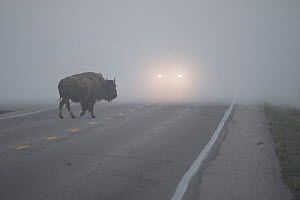 American buffalo (Bison bison) crossing road in Hayden Valley in early morning fog. Yellowstone National Park. Wyoming, USA, June. - Jeff Vanuga