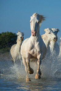 White horses of the Camargue galloping through marshes in the Camargue, France. April.  -  Jeff Vanuga