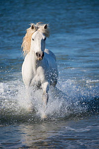 White horse of the Camargue galloping through marshes in the Camargue, France. April. - Jeff Vanuga
