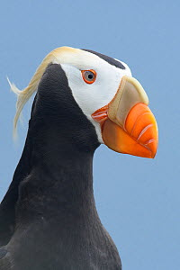 Tufted puffin (Fratercula cirrhata) in breeding plumage. St. Paul Island, Alaska. July. - Gerrit  Vyn