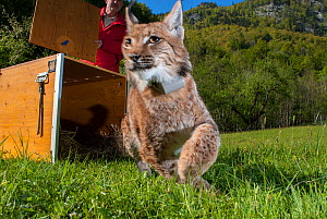 European lynx (Lynx lynx) emerging from crate during translocation from Switerland to Kalkalpen National Park, Austria. May 2011  -  Laurent Geslin