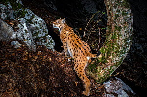 Wild European male lynx (Lynx lynx) B263, photographed at night by camera trap, Jura mountains, Switzerland, June. ~Contact us to download file � minimum fees apply. - Laurent Geslin