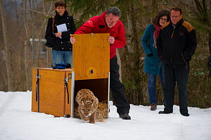 Conservationists releasing radio collared wild European lynx (Lynx lynx)  from Switzerland into Kalkalpen National Park, Austria, March 2013.  -  Laurent Geslin