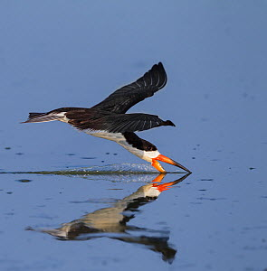 Black skimmer (Rynchops flavirostris) fishing by skimming along water surface, Pantanal, Brazil  -  Tony Heald