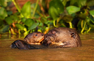 Giant Otter (Pteronura brasiliensis) adult with young in water, Pantanal, Brazil  -  Tony Heald