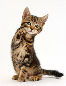 Tabby kitten, Picasso, 8 weeks, with raised paw. - Mark Taylor