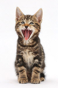 Tabby kitten, Picasso, 7 weeks, yawning. - Mark Taylor