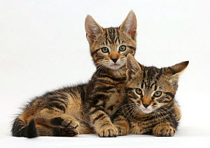 Two tabby kittens, Smudge and Picasso, age 9 weeks. - Mark Taylor