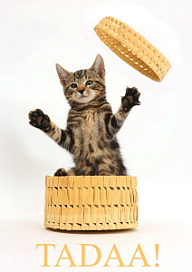 Tabby kitten, Picasso, age 10 weeks, leaping out of wicker basket with the word 'Tadaa!' added digitally underneath - Mark Taylor