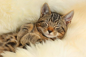 Tabby kitten, Picasso, age 3 months, sleeping on a fluffy rug. - Mark Taylor
