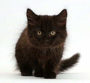 RF- Fluffy black kitten, age 10 weeks. (This image may be licensed either as rights managed or royalty free.)  -  Mark Taylor