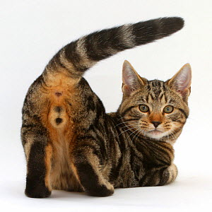 Tabby cat Picasso, 4 months, Showing his rear end and looking round. - Mark Taylor