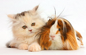 Persian kitten and Guinea pig. NOT AVAILABLE FOR BOOK USE  -  Mark Taylor