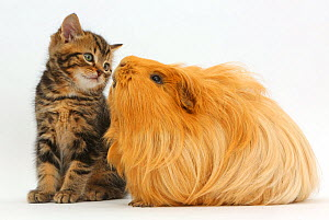 Tabby kitten, age 7 weeks , and Guinea pig. NOT AVAILABLE FOR BOOK USE  -  Mark Taylor