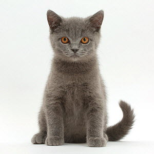 Blue British Shorthair kitten sitting. - Mark Taylor