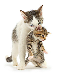 Tabby-and-white Siberian-cross mother cat carrying her tabby kitten, 4 weeks. - Mark Taylor