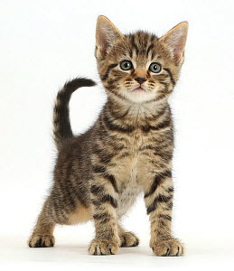 Tabby kitten, 6 weeks, standing. - Mark Taylor