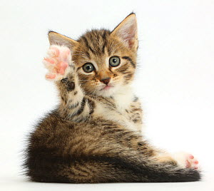 Tabby kitten, 6 weeks, lying with head up and raised paw. - Mark Taylor