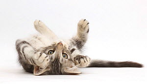 RF- Silver tabby kitten, Loki, 11 weeks, lying on his back. (This image may be licensed either as rights managed or royalty free.) - Mark Taylor
