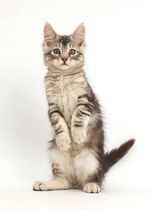RF- Silver tabby kitten, Loki, 11 weeks, standing on hind legs like a meerkat with front paws hanging. (This image may be licensed either as rights managed or royalty free.)  -  Mark Taylor