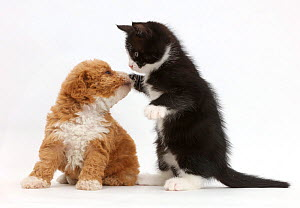 Black-and-white kitten, Solo, 6 weeks, dabbing at F1b toy goldendoodle (Golden Labrador cross Toy poodle) puppy. NOT AVAILABLE FOR BOOK USE  -  Mark Taylor