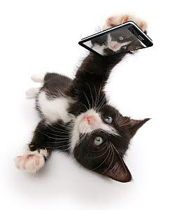 Black-and-white kitten, Solo, 6 weeks, 'taking a selfie'. Composite image.  -  Mark Taylor