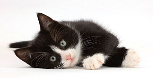 Black-and-white kitten, Solo, 7 weeks, lying on his side. - Mark Taylor