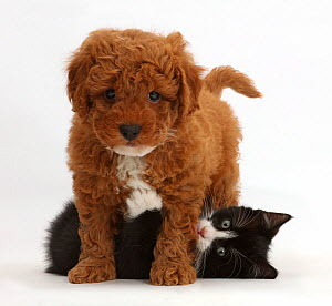 Black-and-white kitten, Solo, 7 weeks, playing with F1b toy Cavapoo (Cavalier King Charles Spaniel cross Poodle) puppy. NOT AVAILABLE FOR BOOK USE  -  Mark Taylor