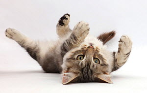 Silver tabby kitten, Loki, age 3 months, lying on his back.  -  Mark Taylor