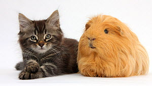 Tabby kitten, Squidge, 10 weeks, with ginger Guinea pig. NOT AVAILABLE FOR BOOK USE  -  Mark Taylor