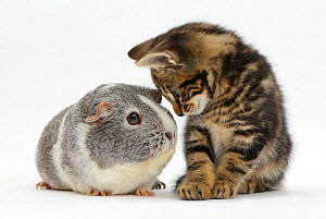 Tabby kitten, Picasso, 8 weeks, face to face with a Guinea pig. NOT AVAILABLE FOR BOOK USE  -  Mark Taylor