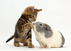 Tabby kitten, Picasso, 8 weeks, with paw over the nose of Guinea pig. NOT AVAILABLE FOR BOOK USE  -  Mark Taylor