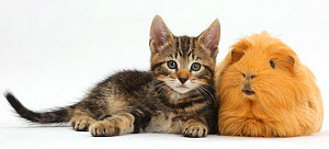 Tabby kitten, Picasso, 8 weeks, with ginger Guinea pig. NOT AVAILABLE FOR BOOK USE  -  Mark Taylor
