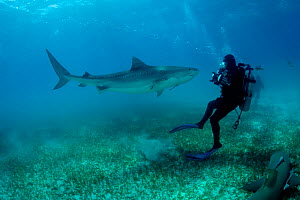 Scuba diver Jim Abernethy photographing Tiger shark, (Galeocerdo cuvier) Northern Bahamas, Caribbean Sea, Atlantic Ocean. March 2009.  -  Franco  Banfi