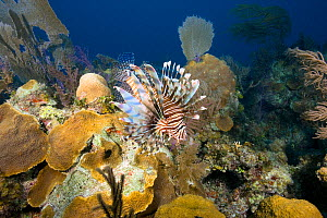 Common lionfish (Pterois volitans) Bahamas Bank, Caribbean Sea, Atlantic Ocean. Invasive species.  -  Franco  Banfi
